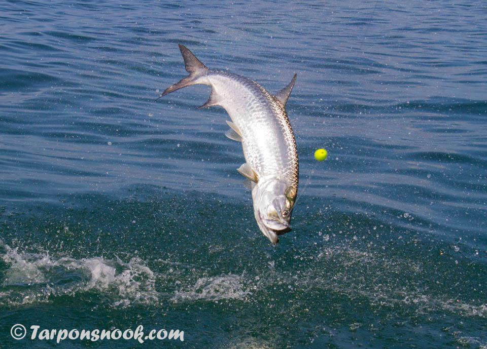 Tarpon fishing boca grande for Boca grande tarpon fishing